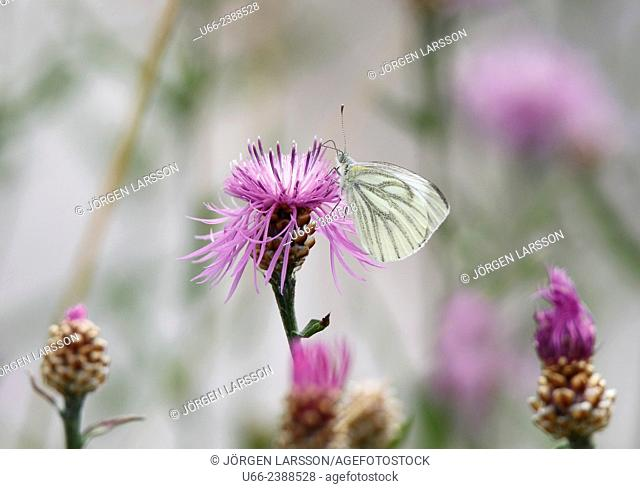 Cabbage Butterfly (Pieris brassicae), Småland, Sweden
