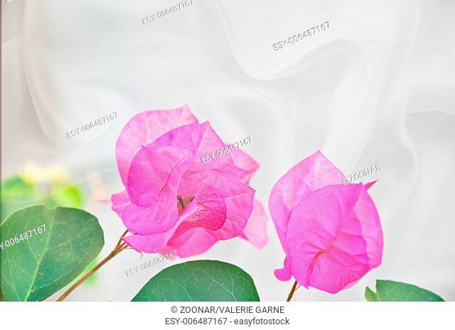 Pink Bougainvillea Flowers on White Silk Backgroun