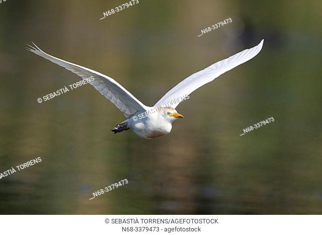 Cattle egret (Bubulcus ibis) in flight, S'Albufera, Majorca, Spain