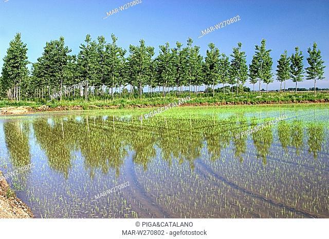 rice paddy, piemonte, italy