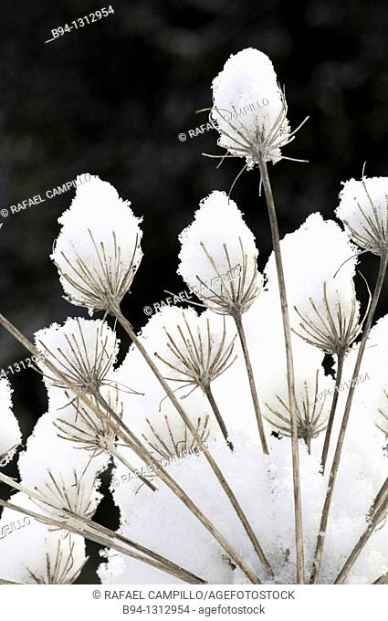 Dry Umbelliferae plants with snow. Osseja. Languedoc Roussillon. Pyrénées Orientales. France