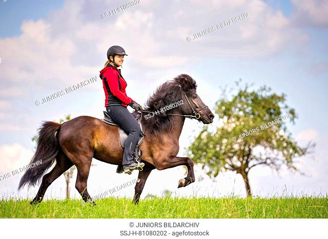 Icelandic Horse. Black mare being ridden at a toelt. Austria