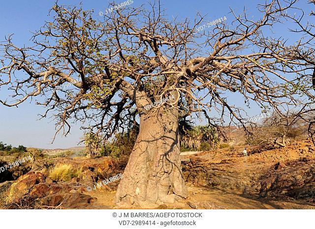 Baobab (Adansonia digitata). This photo was taken in north Namibia on the banks of Kunene River, on Epupa Falls
