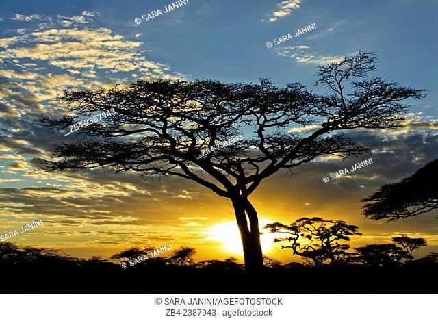 Acacia trees at Sunset, Southern Serengeti National Park, Tanzania, East Africa