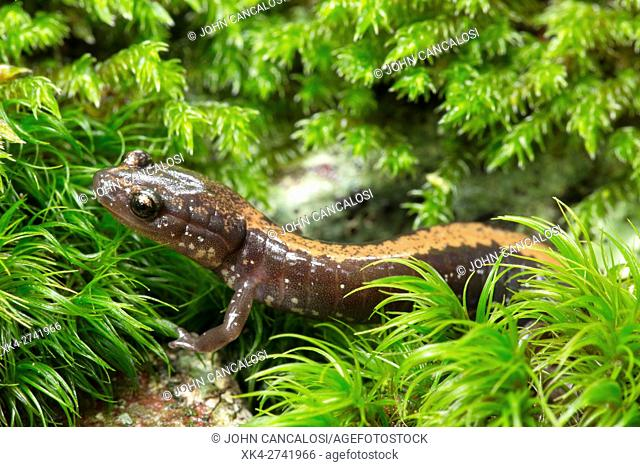 Shenandoah Salamander (Plethodon shenandoah) is a species of salamander in the family Plethodontidae. It is endemic to the United States and the state of...