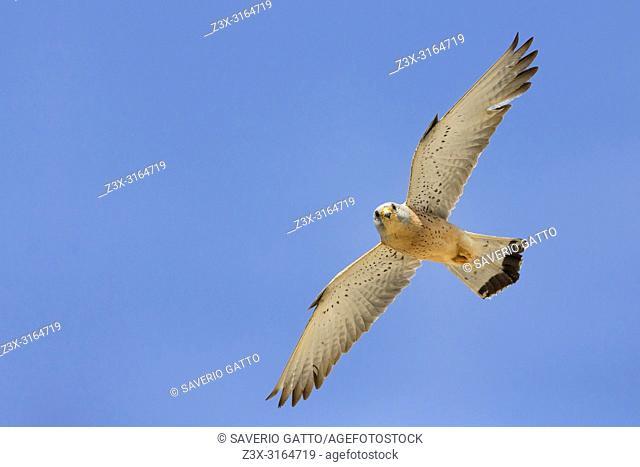Lesser Kestrel, Male, Matera, Basilicata, Italy (Falco naumanni)