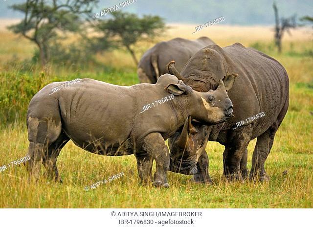 White Rhinoceros or Square-lipped rhinoceros (Ceratotherium simum) with young, Lake Nakuru National Park, Kenya, Africa