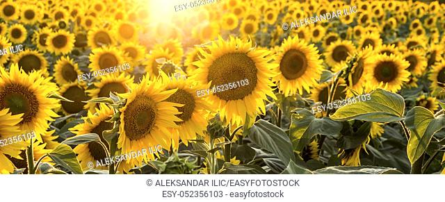 Sunflowers in the field with focus on the center of the image
