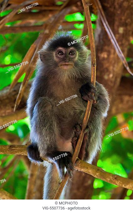 A baby SILVER BACKED LEAF MONKEY or SILVERY LUTUNG in BAKO NATIONAL PARK which is located in SARAWAK - BORNEO, MALAYSIA - USA, 10/04/2014