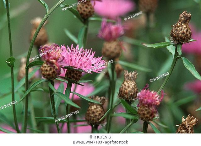 brown knapweed, brown-rayed knapweed Centaurea jacea, inflorescences