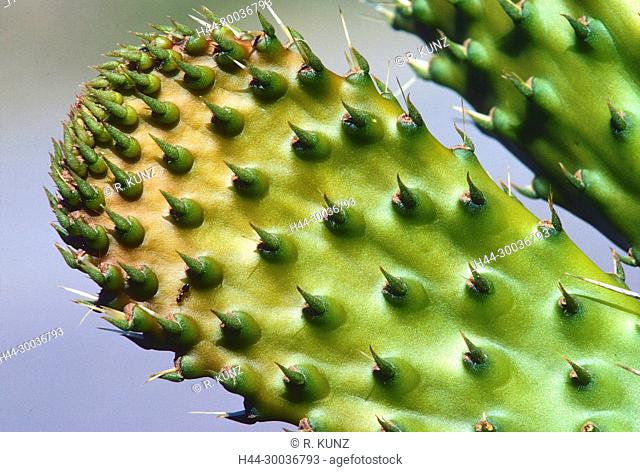 Devil's tongue, Opuntia humifusa, Cactaceae, cactus, leave, detail, spines, ant, insect, animal, Andalusia, Spain