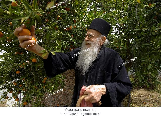 Icon painter Father Kallinikos, picking tangerines, Stravrovouni monastery, near Larnaka, South Cyprus, Cyprus