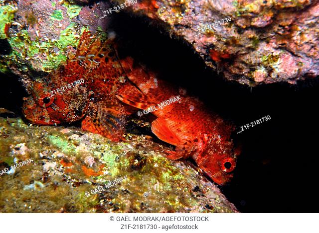 Two small red scorpionfishes lying side by side on the sea floor at night in Corsica. Scorpaena notata