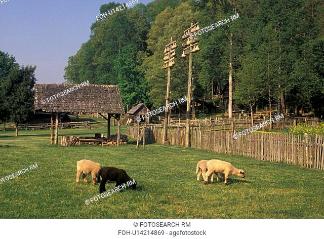 sheep, farm, Norris, TN, Tennessee, Lambs grazing on the farm at the Museum of Appalachia a pioneer mountain village in Norris