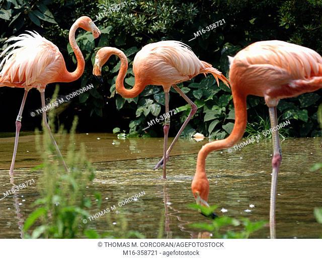 Flamingos. National Zoo