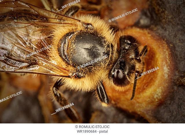 Bees And Honeycomb, (Apis mellifera),Croatia, Europe