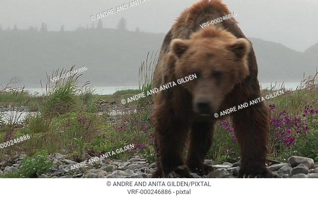Grizzly Bear (Ursus arctos horribilis) approaching camera while walking through purple flowers, Katmai N.P. Alaska, United States