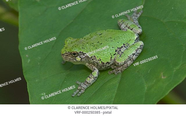 A Gray Treefrog (Hyla versicolor) perches on a leaf of an American Pokeweed plant