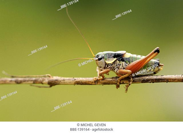 Alpine Bushcricket perched on a small branch