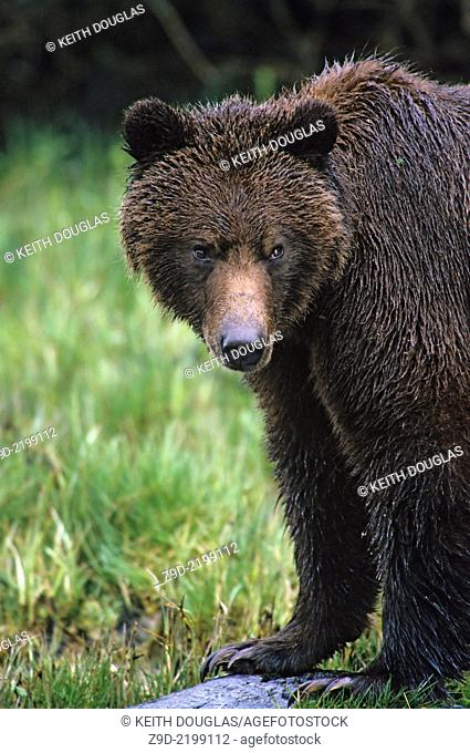 Grizzly bear, Glendale river estuary, Knight Inlet, British Columbia