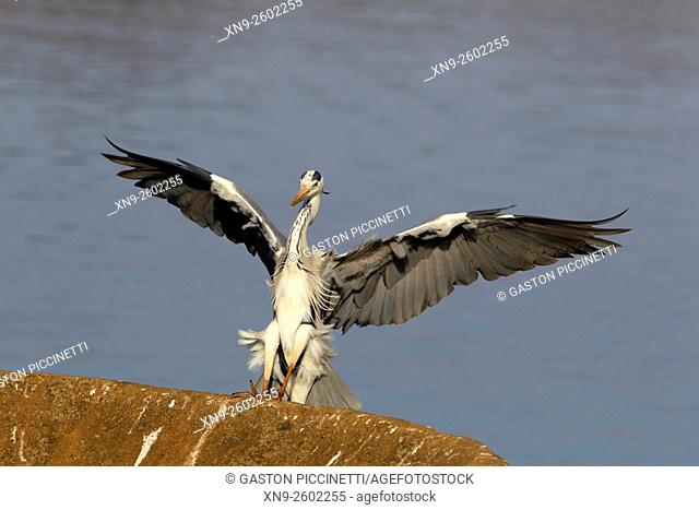 Grey Heron (Ardea cinerea), landing on a rainforced concrete structure , Kruger National Park, South Africa