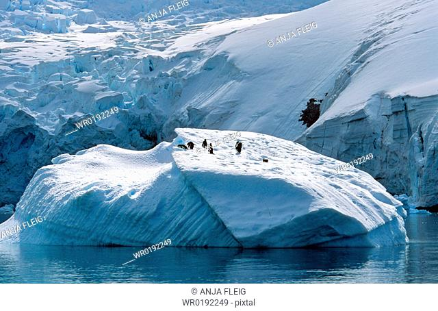 Gentoo Penguins Pygoscelis papua sitting on iceberg Danco Island, Antarctic Peninsula