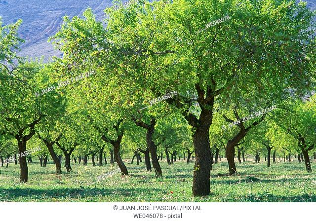 Almond trees, Chirivel. Almería province, Andalusia, Spain