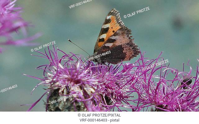 Close up of a Tortoiseshell butterfly Aglais urticae feeding on a violet spring Centaurea triumfetti flower