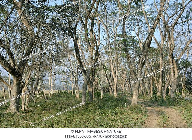 Tropical moist broadleaf forest habitat, Kaziranga N.P., Assam, India, January