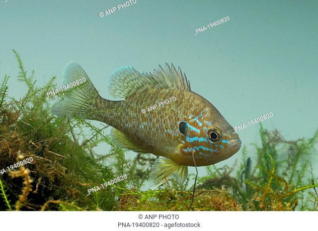 Pumpkinseed Sunfish Lepomis gibbosus
