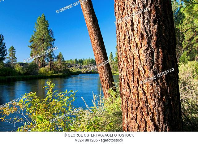 Deschutes Wild and Scenic River with Ponderosa pine from Deschutes River Trail, Deschutes National Forest, Oregon