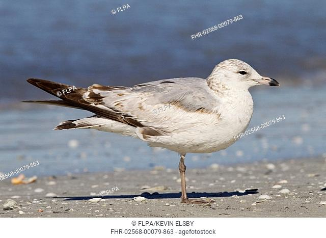 Ring-billed Gull (Larus delawarensis) juvenile, standing on beach, Florida, U.S.A., March