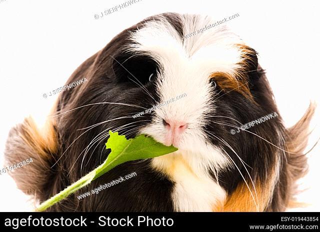 guinea pig isolated on the white background. marino