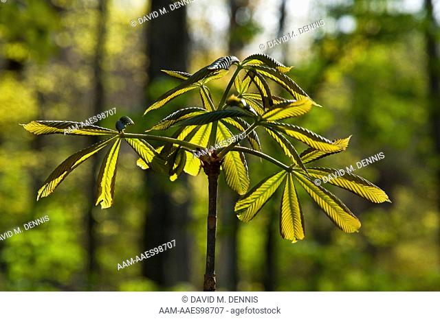 New Buckeye Leaves, Great Smoky Mountains National Park