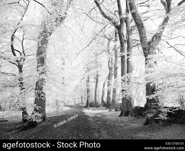 Path through woodland in infrared in the Mendip Hills, Somerset, England