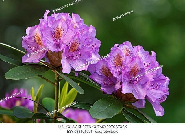 Catawba rosebay (Rhododendron catawbiense). Called Mountain rosebay, Purple ivy, Purple laurel, Purple rhododendron, Red laurel, Rosebay, Rosebay laurel also