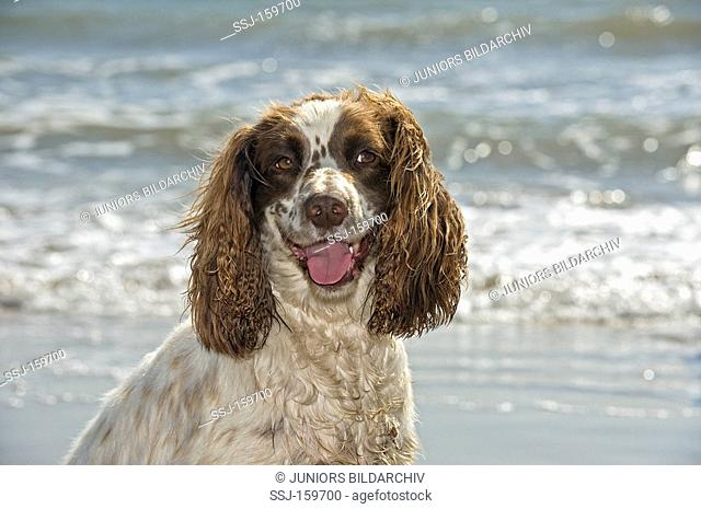 English Springer Spaniel - portrait