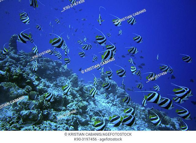 Schooling Banner fish (Heniochus diphreutes), Indian Ocean, Maledives, South Asia