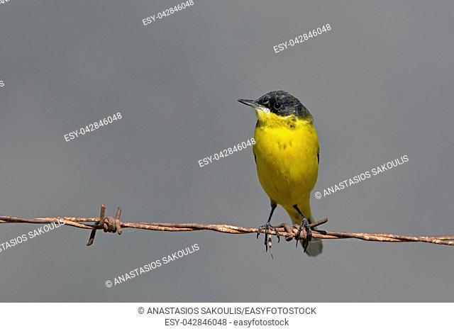 Yellow Wagtail - Motacilla flava feldegg, Crete