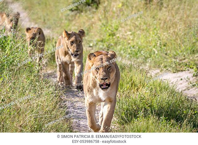 Lions walking towards the camera in the Chobe National Park, Botswana