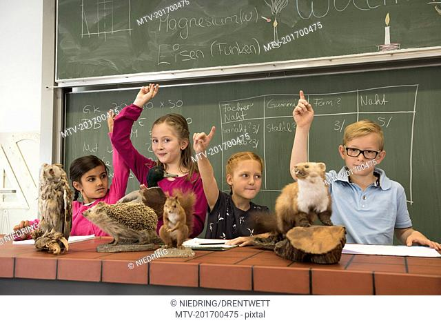 Students raising hands while examining stuffed animals in a biology class, Fürstenfeldbruck, Bavaria, Germany