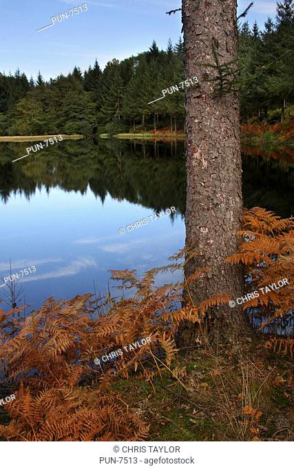 A pine tree and golden coloured bracken beside a lake with reflections of the distant trees and the blue sky in the water