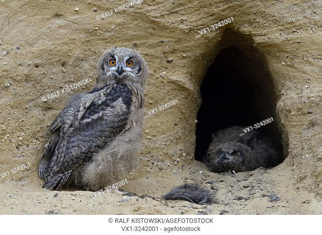 Eurasian Eagle Owls ( Bubo bubo ), young, playful, together at the entrance of their nest burrow, curious, funny, wildlife