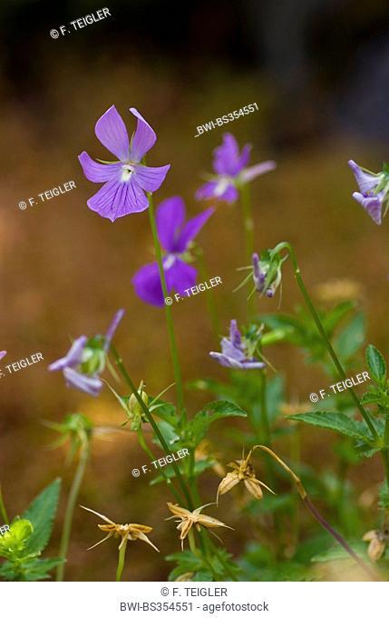 horned pansy, horned violet (Viola cornuta), wild form