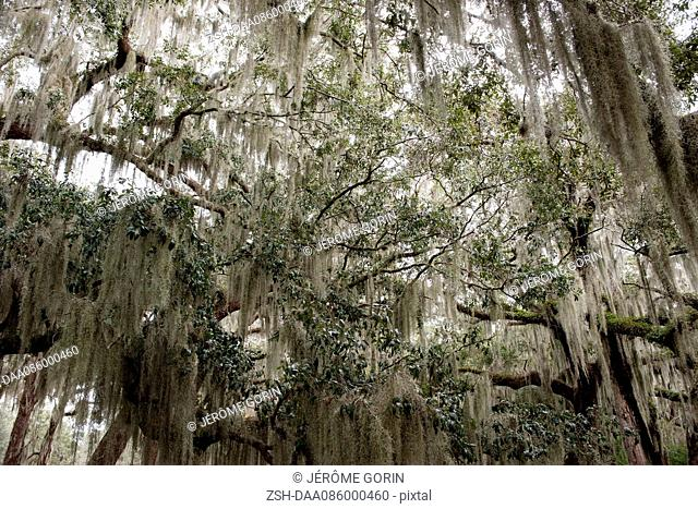 Spanish moss hanging from trees, Jekyll Island, Georgia, USA
