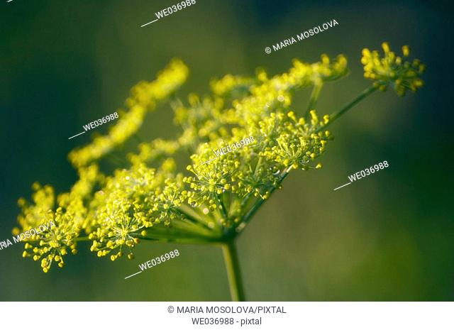 Garden Dill in Bloom. Anethum graveolens, Herb, spice. Maryland, USA