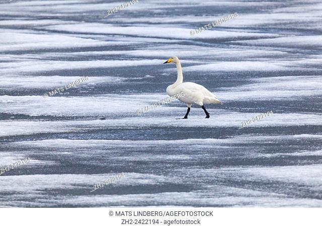 Whooper swan, Cygnus cygnus, walking on thin ice, Gällivare, Sweden