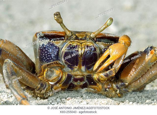 Fiddler crab (Uca tangeri)