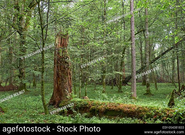 Summertime deciduous primeval forest with old oak tree in background and hornbeam in foreground, Bilowieza Forest, Poland, Europe