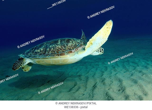 green sea turtle (Chelonia mydas), Red sea, Marsa Alam, Abu Dabab, Egypt